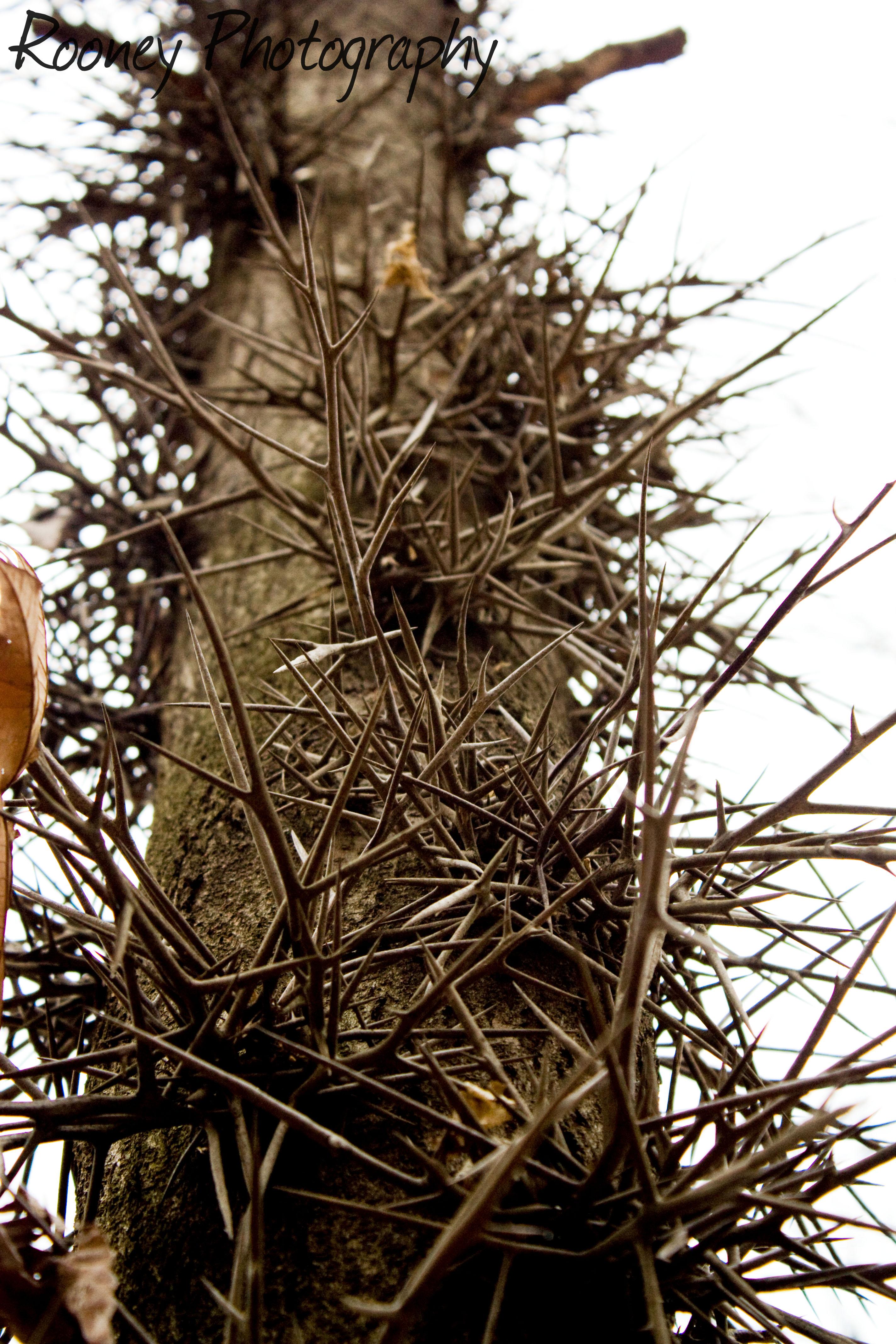 thorny trees rooney photography